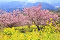 桑田山の雪割り桜とナノハナ
