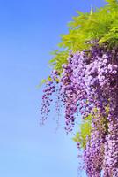 地福寺・フジの花