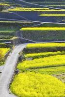 江田の棚田に咲くナノハナと道