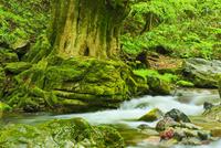 小田深山渓谷の新緑と清流に古樹