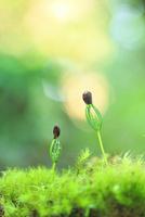松の芽と水滴
