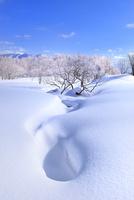 裏磐梯・檜原湖 雪原に霧氷の木々 11076026231| 写真素材・ストックフォト・画像・イラスト素材|アマナイメージズ