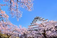 鶴ヶ城(会津若松城) 天守閣と桜 11076026244| 写真素材・ストックフォト・画像・イラスト素材|アマナイメージズ