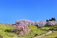 三春の滝桜 11076026258| 写真素材・ストックフォト・画像・イラスト素材|アマナイメージズ