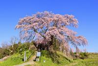 上石の不動桜 11076026273| 写真素材・ストックフォト・画像・イラスト素材|アマナイメージズ