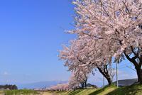 宮川の千本桜 11076026280| 写真素材・ストックフォト・画像・イラスト素材|アマナイメージズ