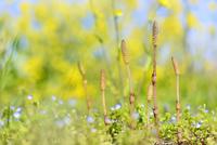 ナノハナ畑のツクシとオオイヌノフグリ