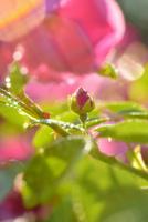 バラの蕾みに水滴 背景に花