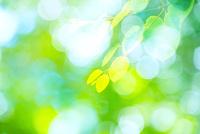 カツラの新緑アップとぼけた森