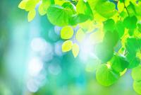 カツラの新緑アップ 11076026498| 写真素材・ストックフォト・画像・イラスト素材|アマナイメージズ
