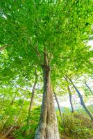 新緑のブナ