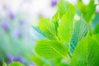新緑のアジサイ 11076026554| 写真素材・ストックフォト・画像・イラスト素材|アマナイメージズ