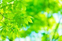 ケヤキの新緑アップ 11076026571| 写真素材・ストックフォト・画像・イラスト素材|アマナイメージズ