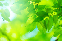 ケヤキの新緑アップ 11076026576| 写真素材・ストックフォト・画像・イラスト素材|アマナイメージズ