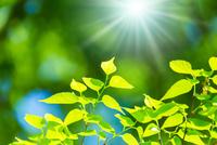 新緑の葉アップと光