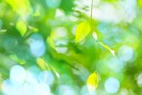 新緑の葉アップ 11076026587| 写真素材・ストックフォト・画像・イラスト素材|アマナイメージズ
