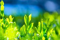 新緑の茶葉アップ