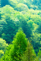カラマツ新緑のアップと森