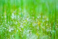 新緑の草に水滴