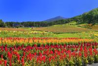 花の里 ケイトウとユリ、百日草に八ヶ岳