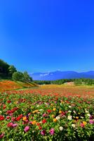 花の里 百日草とルドベキアに南アルプス 11076026859| 写真素材・ストックフォト・画像・イラスト素材|アマナイメージズ