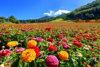 花の里 百日草と八ヶ岳 11076026865| 写真素材・ストックフォト・画像・イラスト素材|アマナイメージズ