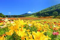 花の里 ユリと百日草に八ヶ岳