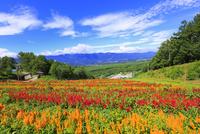 花の里 ケイトウの花畑