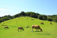 赤牛の放牧