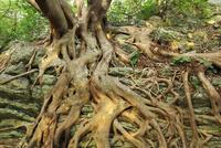 室戸岬のアコウ樹