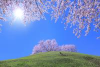 さきたま古墳公園のサクラと太陽