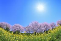 サクラ堤公園のサクラとナノハナに太陽