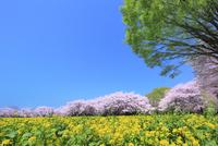 昭和記念公園のサクラとナノハナに新緑