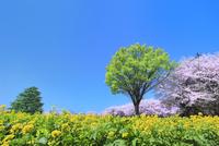 昭和記念公園 サクラとナノハナに新緑の木