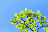 新緑のコブシアップと青空