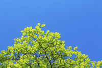 新緑のコブシと青空