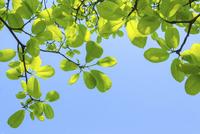 新緑のコブシの葉と青空