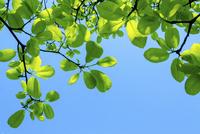 新緑のコブシの葉と青空 11076027636| 写真素材・ストックフォト・画像・イラスト素材|アマナイメージズ