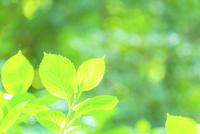 アジサイの新緑アップ 11076027660| 写真素材・ストックフォト・画像・イラスト素材|アマナイメージズ