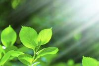アジサイの新緑アップに太陽光 11076027661| 写真素材・ストックフォト・画像・イラスト素材|アマナイメージズ