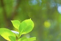 アジサイの新緑アップ 11076027662| 写真素材・ストックフォト・画像・イラスト素材|アマナイメージズ