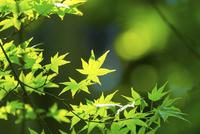 アジサイの新緑アップ 11076027664| 写真素材・ストックフォト・画像・イラスト素材|アマナイメージズ