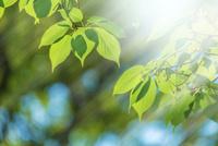 新緑の桜葉アップとぼけに太陽光