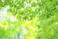新緑の葉アップ