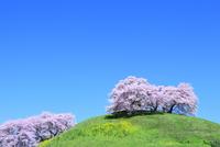 丘のサクラとナノハナに青空