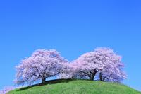 丘のサクラと青空