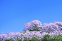 丘のサクラと青空 11076028014| 写真素材・ストックフォト・画像・イラスト素材|アマナイメージズ