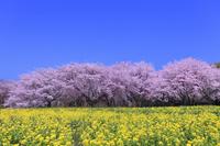 昭和記念公園のサクラとナノハナ