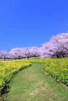 昭和記念公園のサクラとナノハナに道
