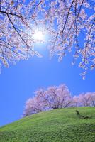 丘のサクラと太陽